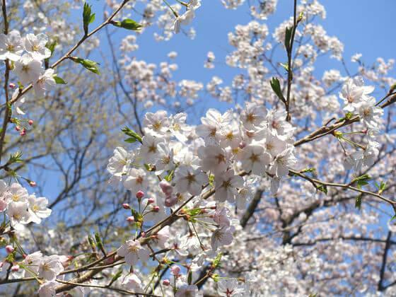 多摩川台公園 桜 見頃