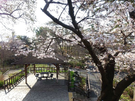 多摩川台公園 桜 開花状況