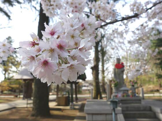九品仏浄真寺 桜 見頃