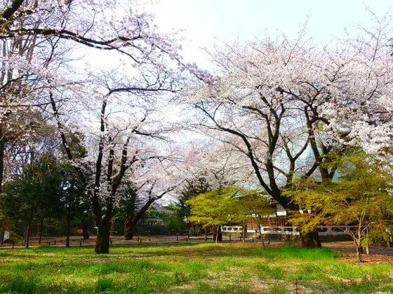 九品仏浄真寺 桜 開花状況