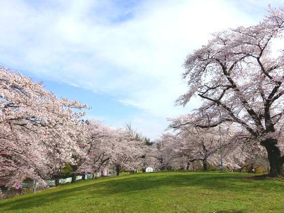 秩父 羊山公園 桜