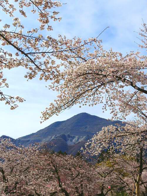 武甲山 桜