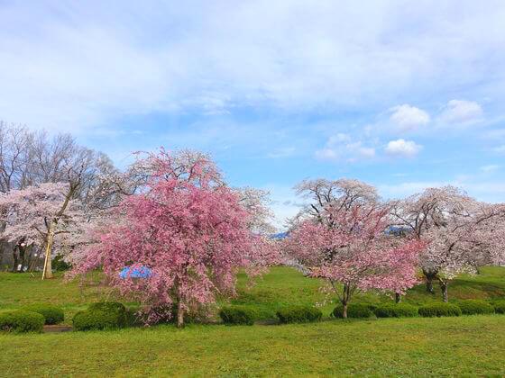 羊山公園 桜 開花状況
