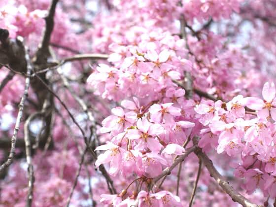 羊山公園 桜 見頃