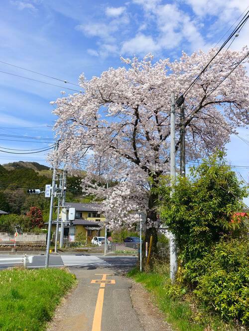 日高市 巾着田 桜