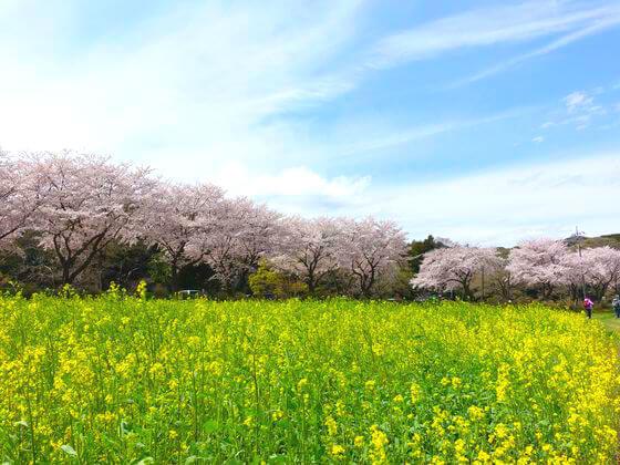 日高市 巾着田 菜の花