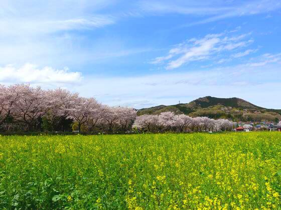 ①巾着田 菜の花