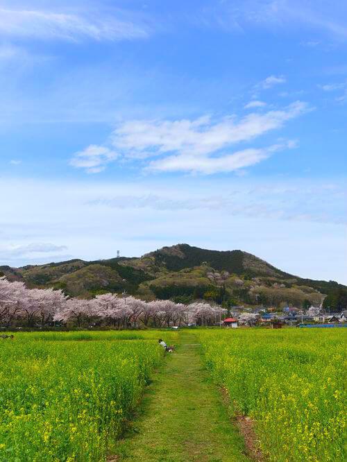 埼玉 巾着田 菜の花