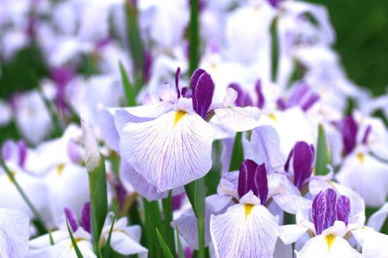 花菖蒲 開花時期
