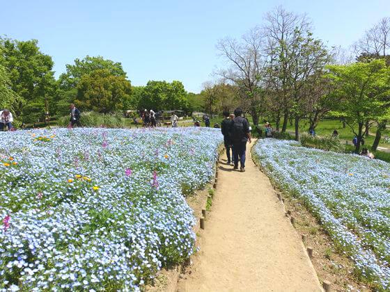 国営昭和記念公園 ネモフィラ