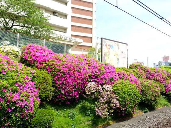 ツツジ 駒込駅
