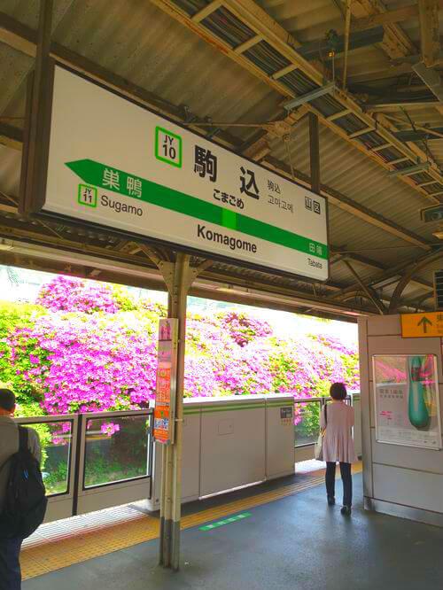 駒込駅 ツツジ