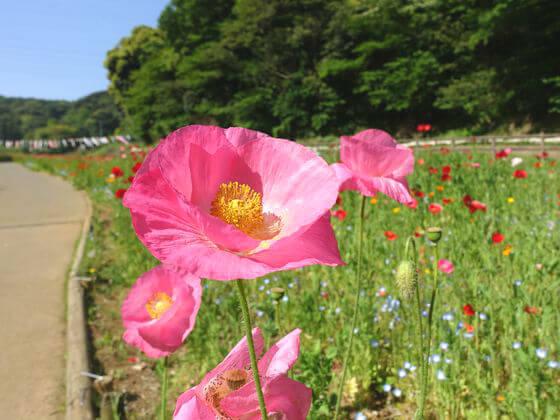 くりはま花の国 ポピー 開花状況