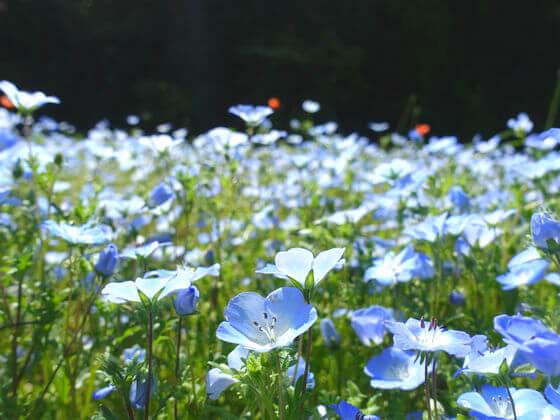 くりはま花の国 ネモフィラ 開花状況