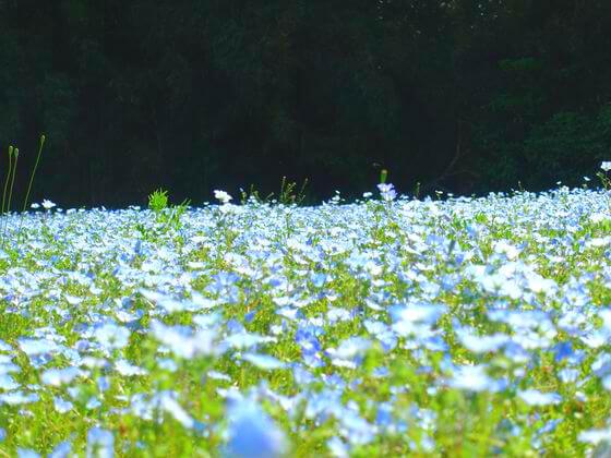 ネモフィラ 横須賀 くりはま花の国