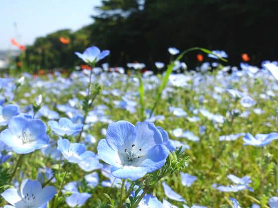 横須賀 くりはま花の国 ネモフィラ