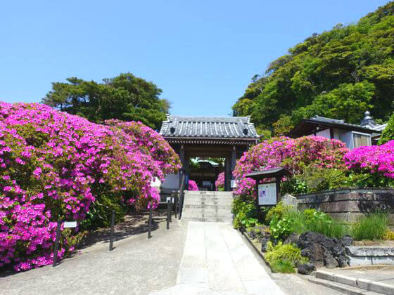 鎌倉 安養院 ツツジ