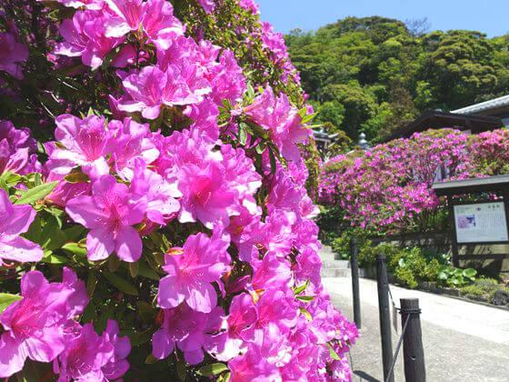 安養院 つつじ 開花状況