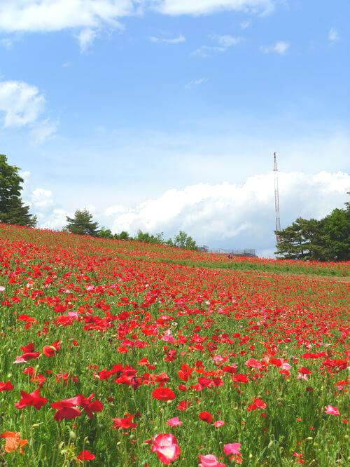 シャーレーポピー 国営昭和記念公園