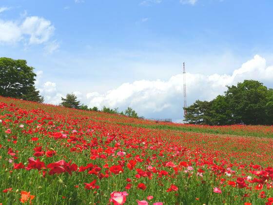 昭和記念公園 シャーレーポピー