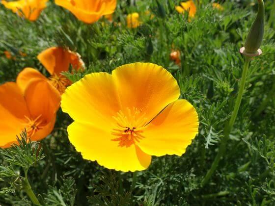 昭和記念公園 カリフォルニアポピー 開花状況