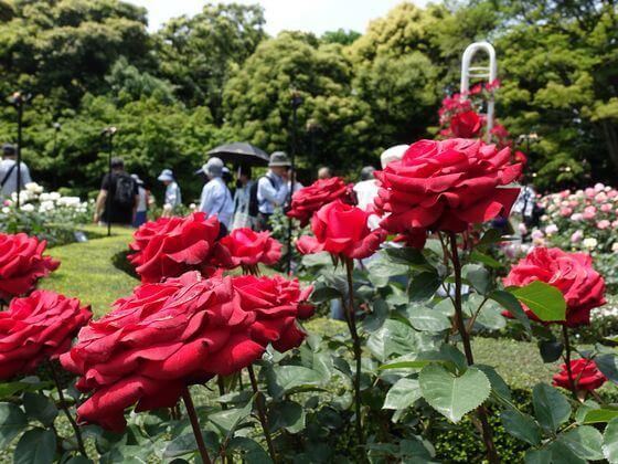 旧古河庭園 薔薇
