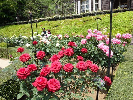旧古河庭園 バラ 開花状況