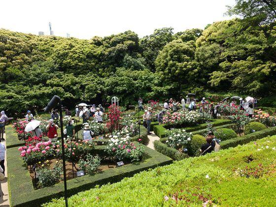 薔薇 旧古河庭園