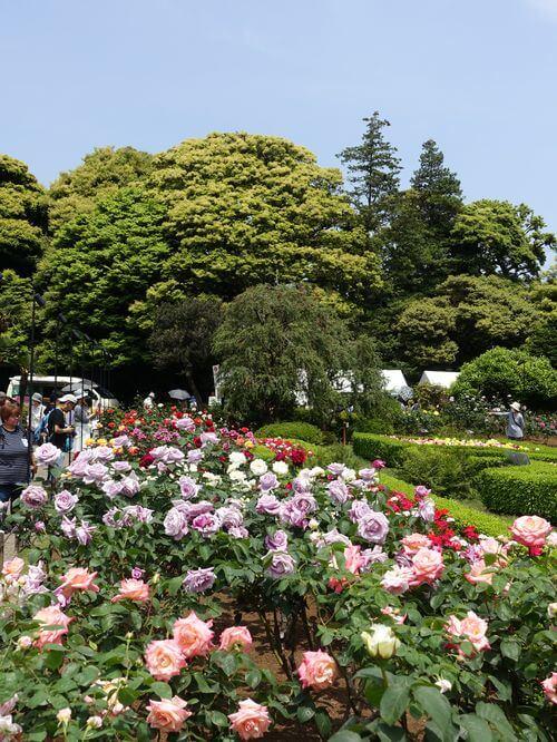 バラ 旧古河庭園