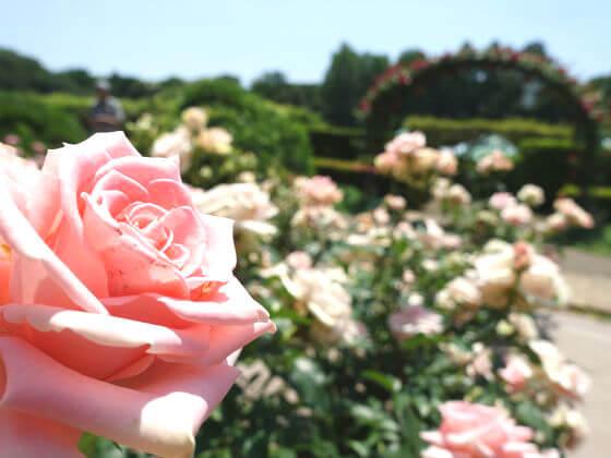 神代植物公園 バラ 見頃
