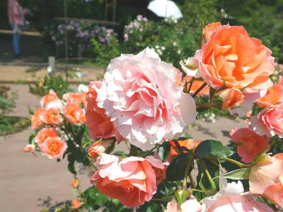 神代植物公園 バラ 開花状況