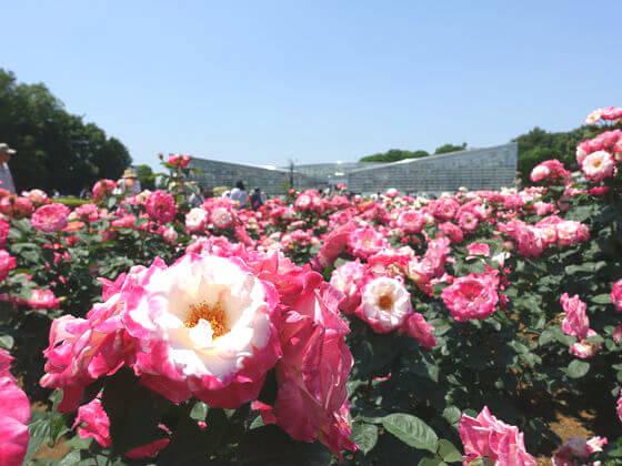 神代植物公園 薔薇