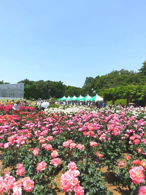 薔薇 神代植物公園