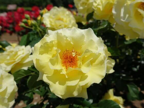 エバーゴールド バラ