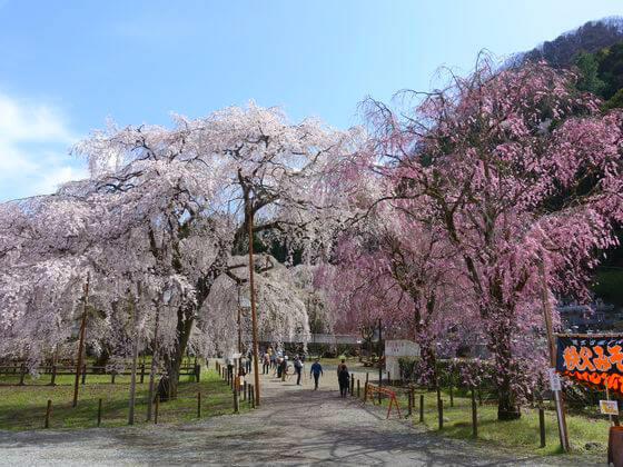 清雲寺 秩父 しだれ桜