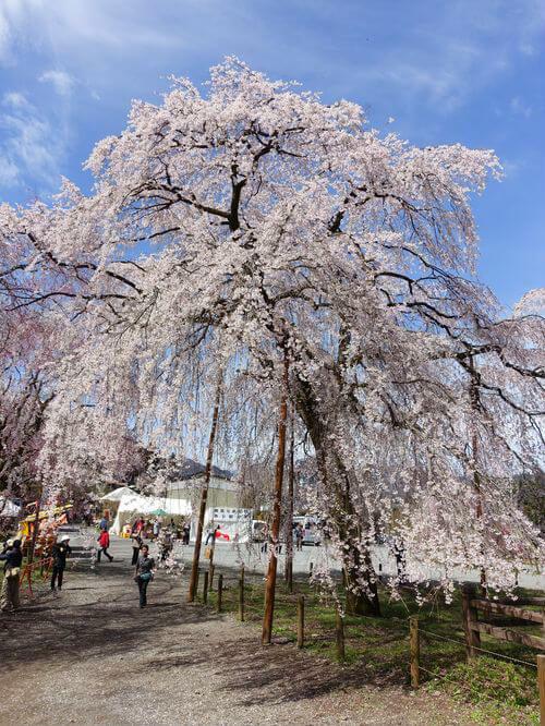 しだれ桜 清雲寺