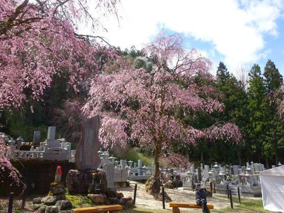 清雲寺 桜