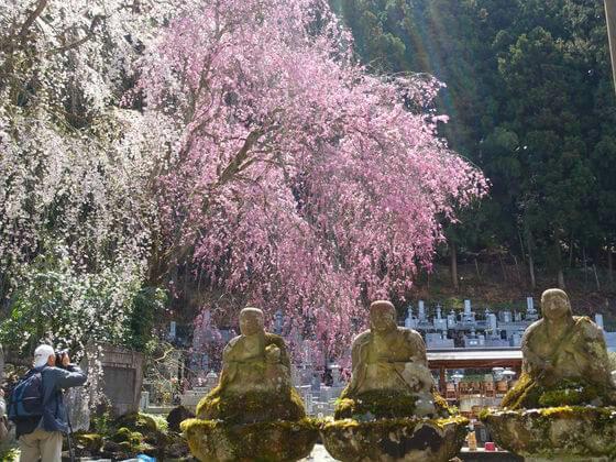 桜 秩父 清雲寺