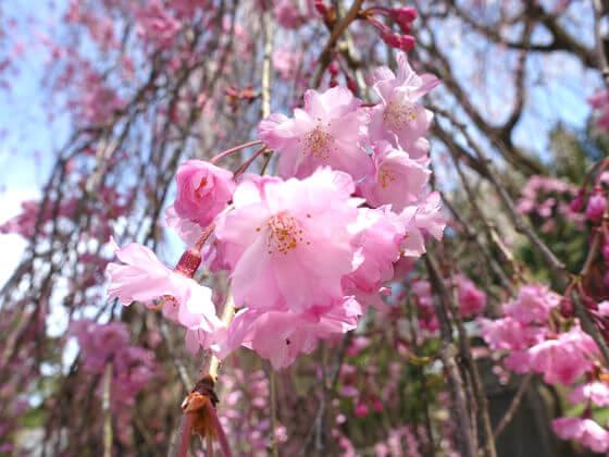 清雲寺 しだれ桜 開花状況