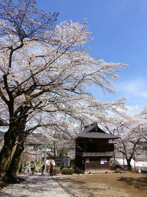 秩父 若御子神社 桜