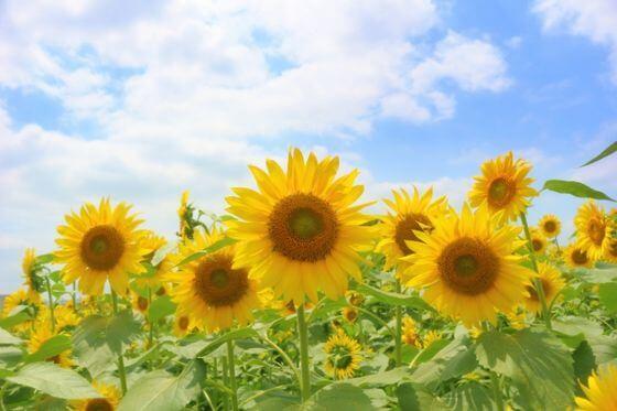 向日葵(ひまわり)とは <花言葉・由来・開花時期などを紹介> – 歩い ...
