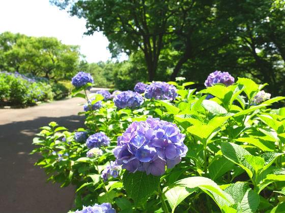 府中市郷土の森博物館 紫陽花
