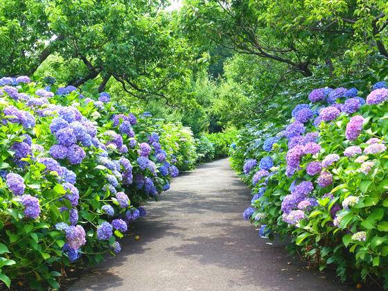 東京 紫陽花