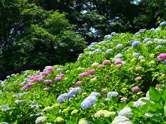 薬師池公園 紫陽花