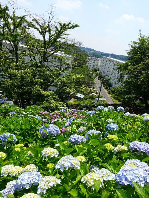 町田 えびね苑 紫陽花