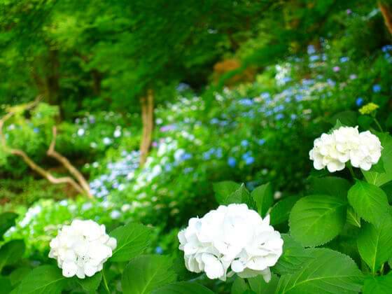 浄慶寺 川崎 紫陽花