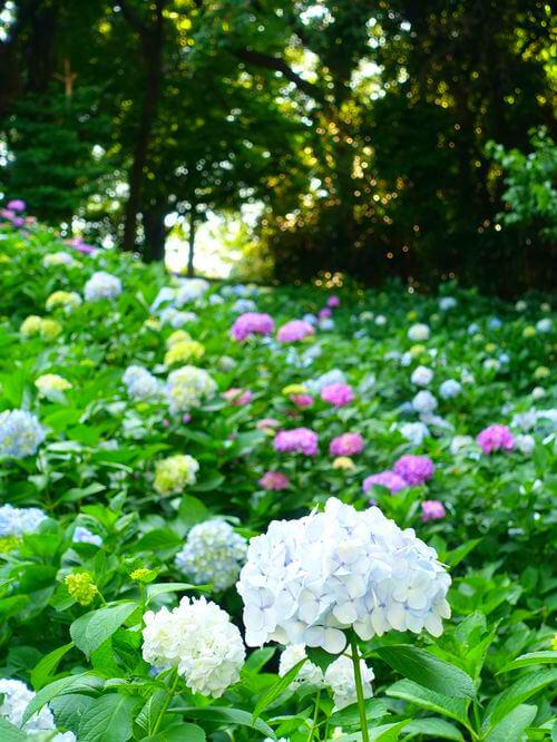 川崎 妙楽寺 紫陽花