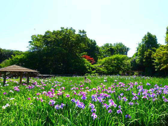 埼玉県 染谷花しょうぶ園