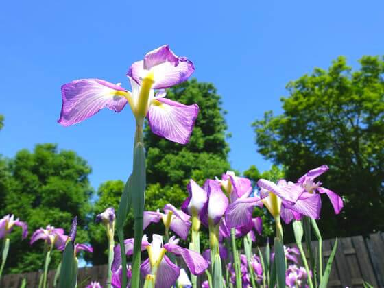 染谷花しょうぶ園 開花状況