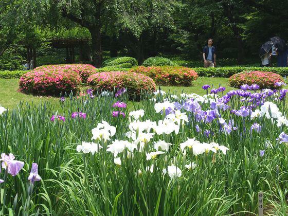 花しょうぶ 皇居東御苑